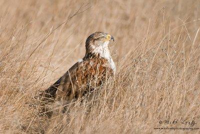 Ferruginous Hawk in grass