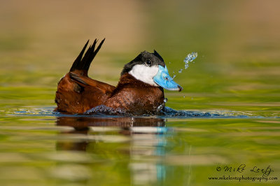 Ruddy Duck (Bubble display)