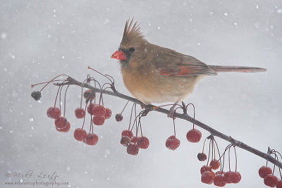 Snowberries   Northern Cardinal (female)