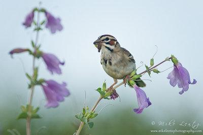 Lark Sparrow on large flowered Penstemon