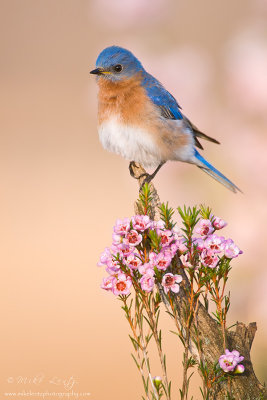 Bluebird on favorite perch
