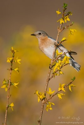 Bluebird on Forsynthia