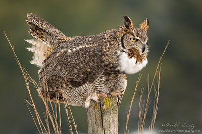 Great Horned owl Hooting