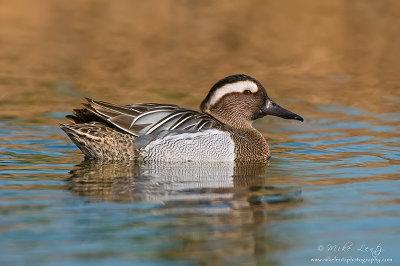 Garganey Duck (Drake)