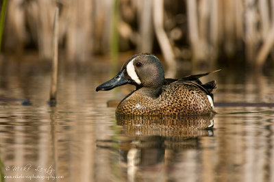 Blue-Winged teal in cattails