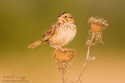 Henslows sparrow