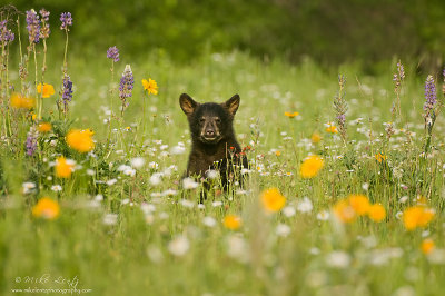 Black Bear Cub in field of flowers