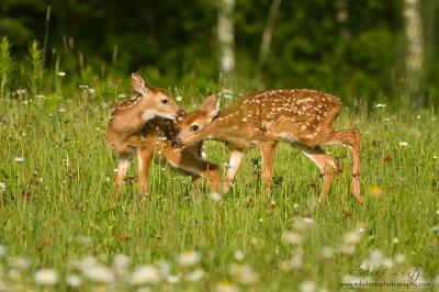Fawn Affection