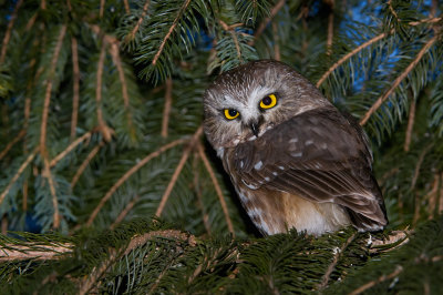 Northern Saw-Whet Owl in pines