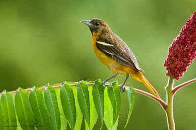 Baltimore Oriole on sumac