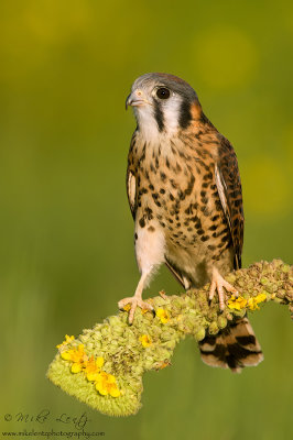 American Kestral (female) on Common Mullien