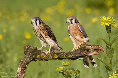 American Kestral (female & male)