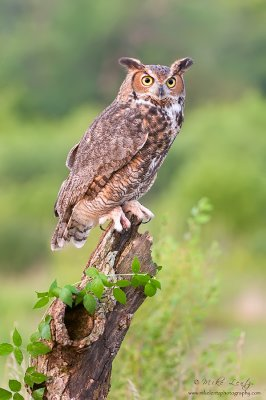 Great Horned Owl on hollow log