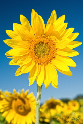 Sunflower to the skies