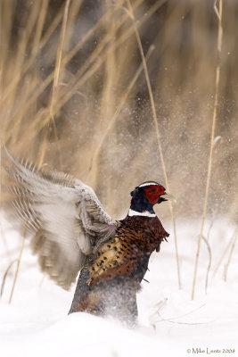 Rooster  burst