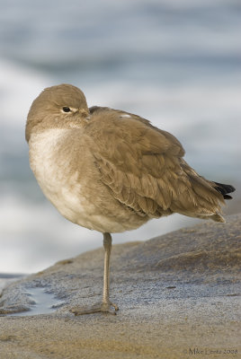Willet (basic plumage)