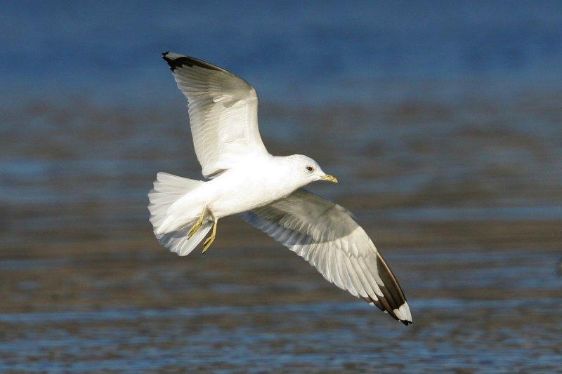Goéland leucophée Larus michahellis - Yellow-legged Gull