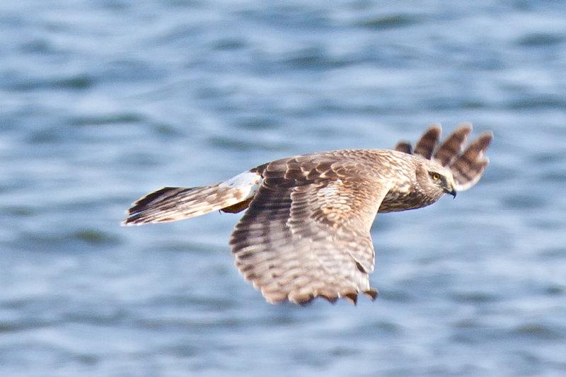Harrier, Northern 0270