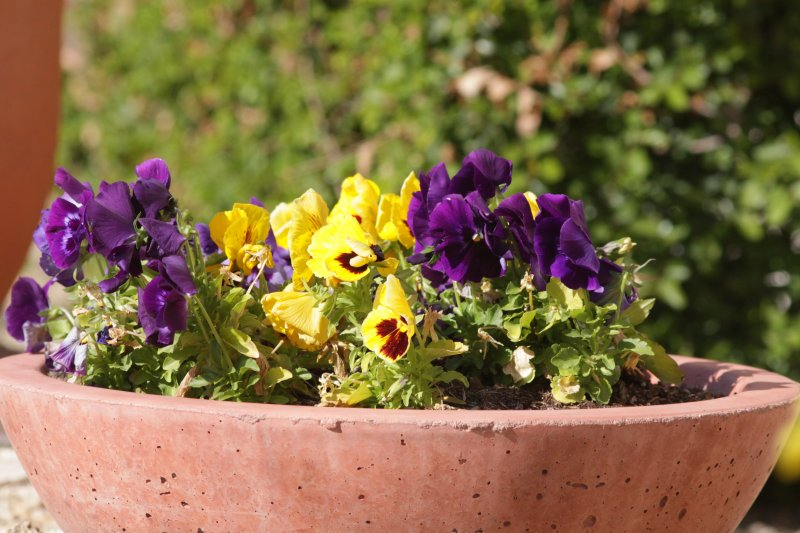 Domesticated Pansies