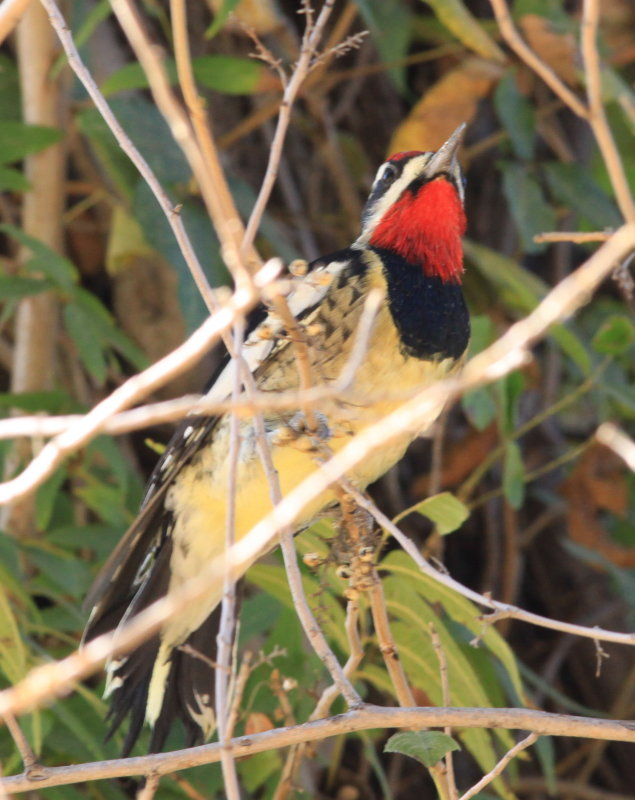 Red-Naped Sapsucker (Sphyrapicus nuchalis)