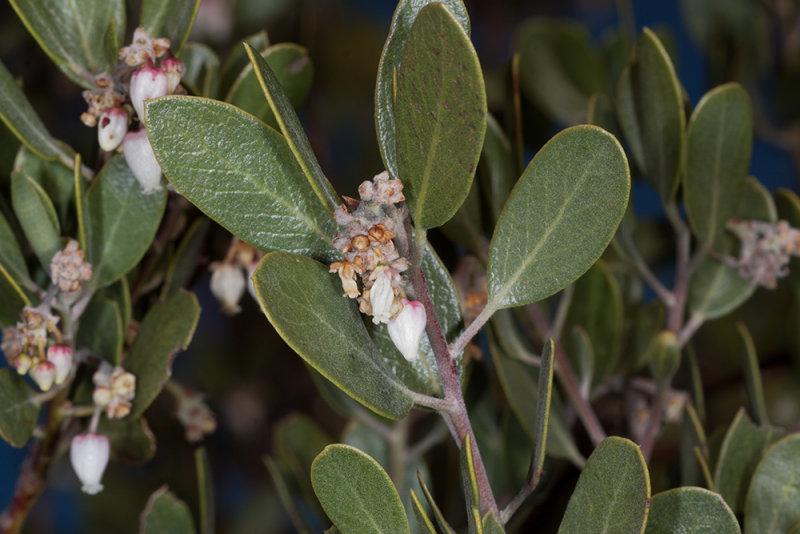 Eastwood Manzanita (<em>Arctostaphylos glandulosa</em>)