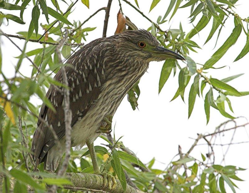 Black-crowned Night Heron - immature