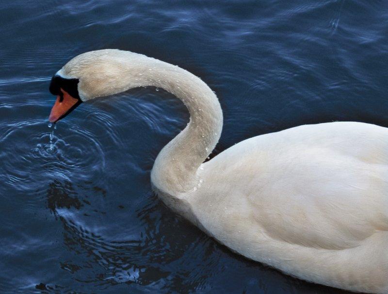 Swan�Swan