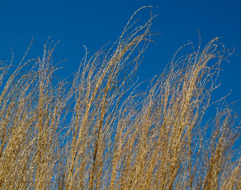 Sunlight on reeds.
