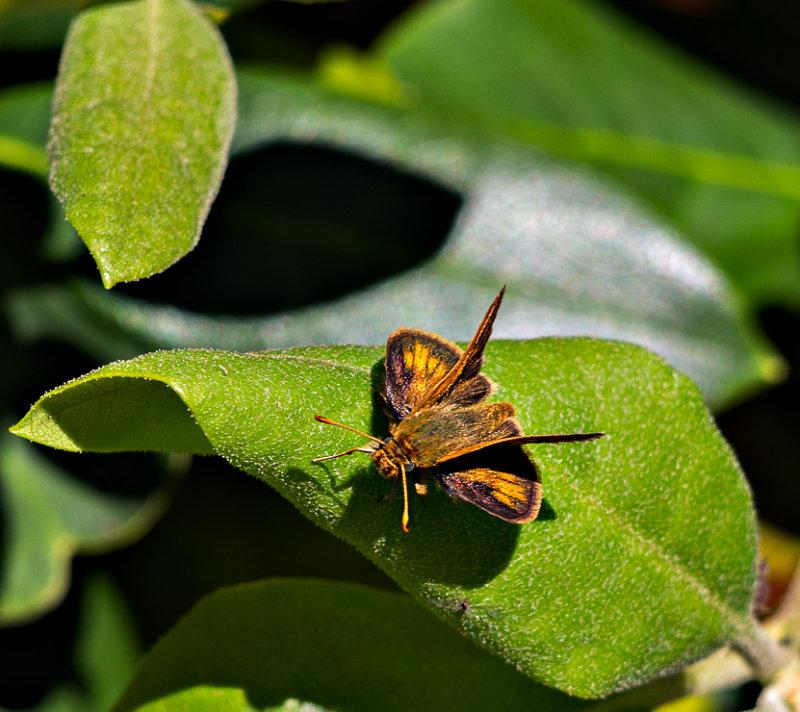 Skipper Butterfly (6/21)