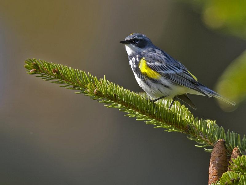 Yellow-rumpeed Warbler 4615