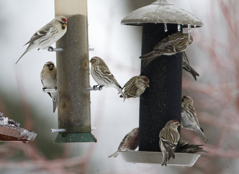 Hoary (upper left) & Common Redpolls