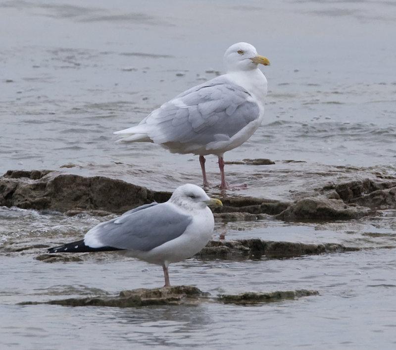 Glaucous Gull back Herring Gull front
