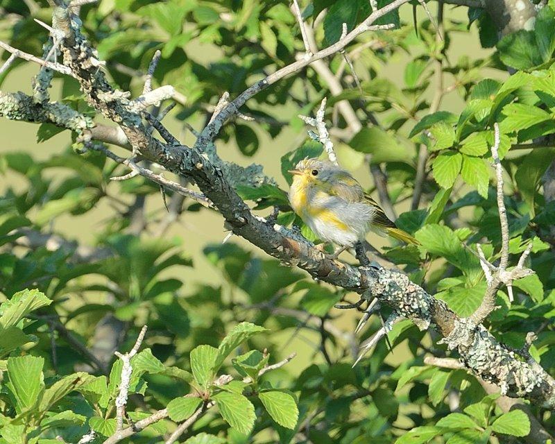 Common Yellowthroat Warbler (Immature)