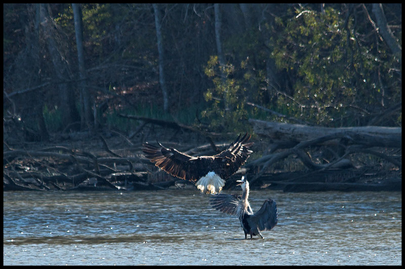 Bald Eagle vs. Blue Heron