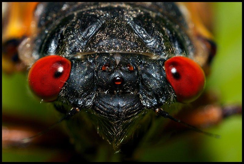 Cicadas for a Day