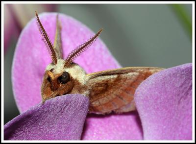 Moth on Orchid III (Alternative Crop)