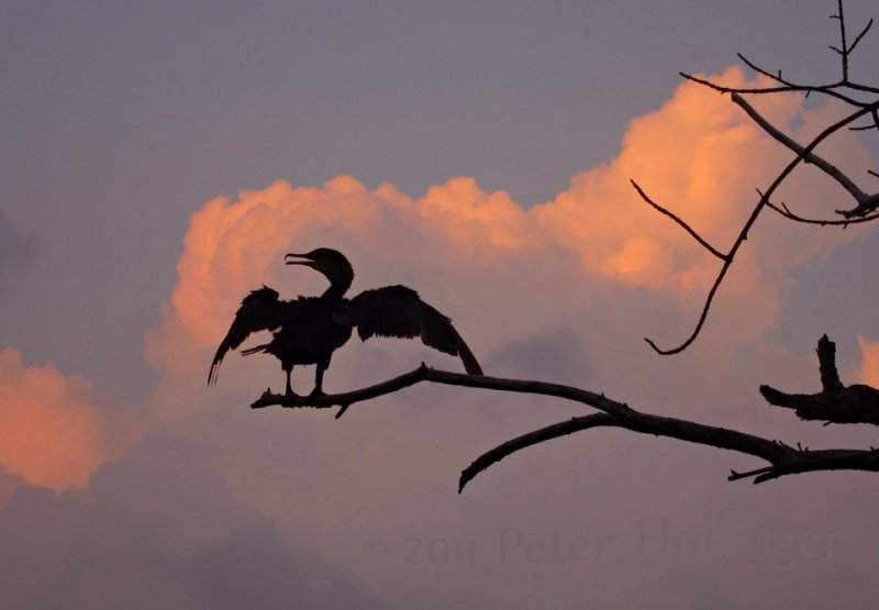 Cormorant and Cloud