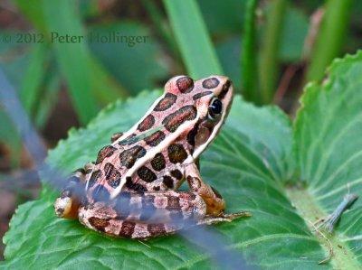 Cute little pickerel frog in Donnas garden.