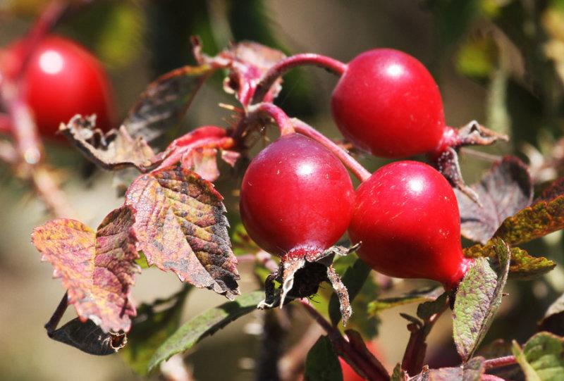 2011 09 21_RIMOUSKI_5501--roses-900.jpg