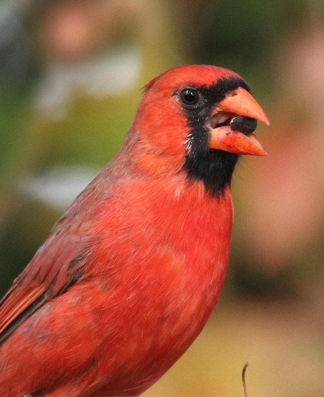 maison-bouch--_2011 10 12_0052--cardinal--900.jpg