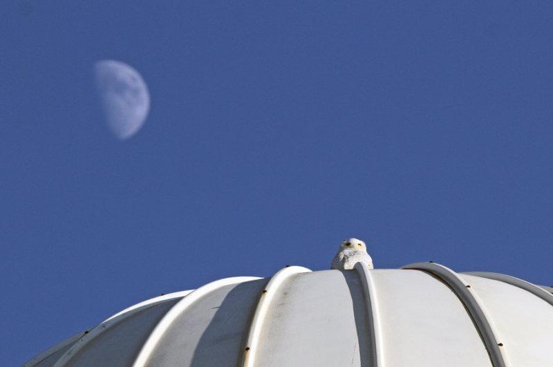 crécerelle_2011 12 03_0181_lune et harfang--900.jpg
