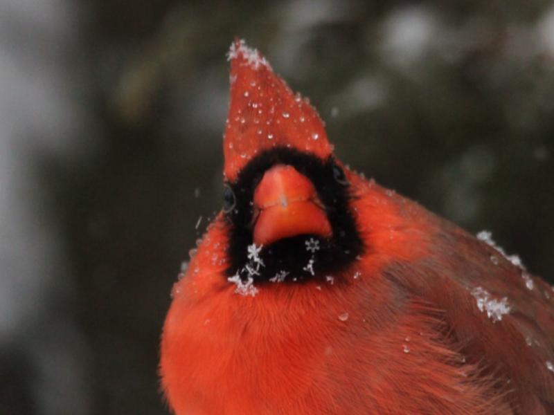 2012-01-13  -cardinal avec flocon en étoile