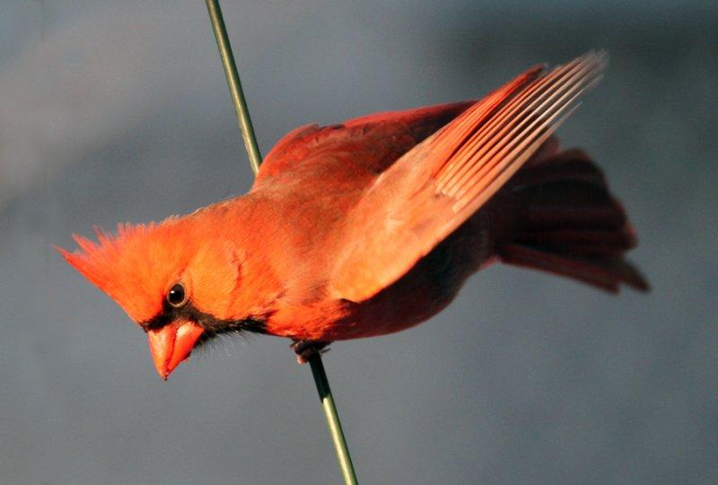 pic_2012 01 26_0008--cardinal-900.jpg