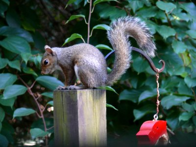 Too far when he ate the feeder...