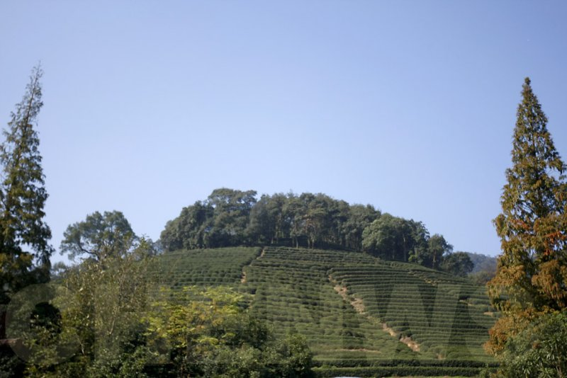 Longjing tea plantation