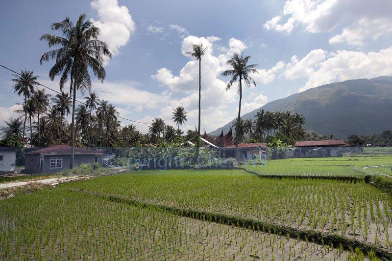 kampung and paddy fields