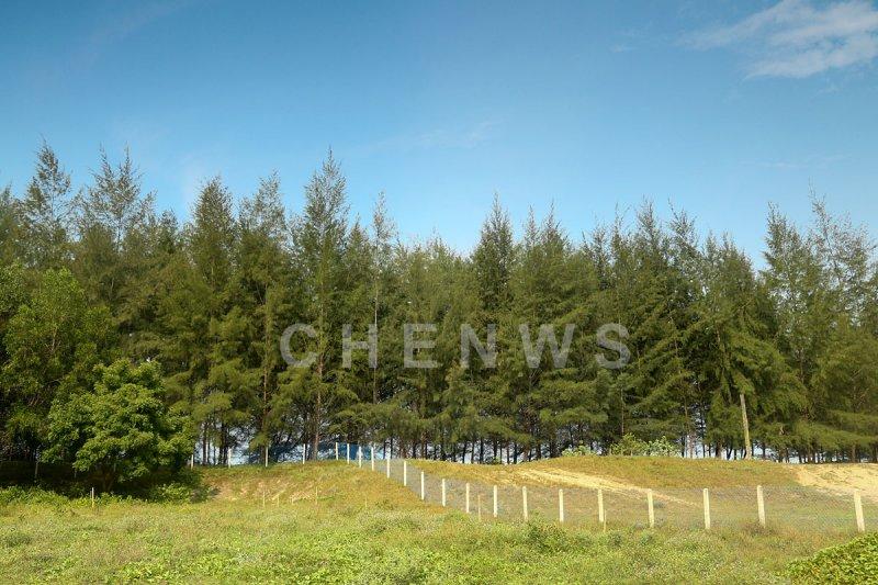 Pine trees, Kg Sungai Ular