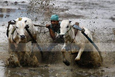 Jockey biting the bulls tail