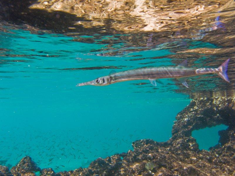 Needle Fish_Smiths Cove.jpg