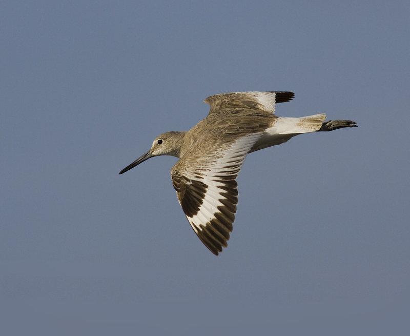 Willet Flight